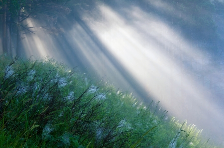 penetrating: the suns rays penetrating the fog in a pine forest Stock Photo