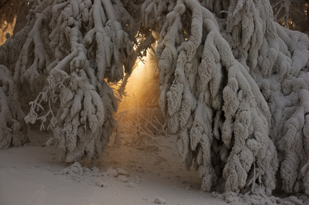 rays of light shows through between skolnennyh branches to the ground, covered with a thick layer of snow photo