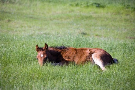 Foal resting in a field photo