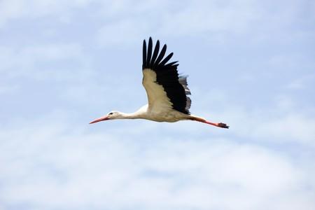 cigue�a: Cig�e�a volando en el cielo azul nublado