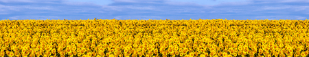 yellow green: Panorama of summer landscape with a field of sunflowers