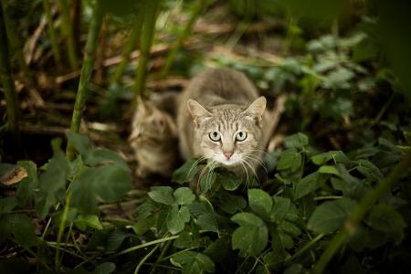 gato gris: gato gris en la hierba con el gatito Foto de archivo