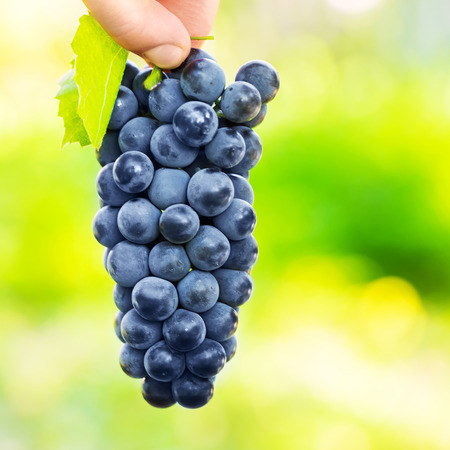 wine grower: Grapes harvest. Farmers hands with freshly harvested black grapes. Stock Photo