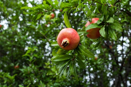 Delicious pomegranate fruit on a green leafs background. Unripe big garnets hanging on branch. Immature, fresh yields. Croatia - Image