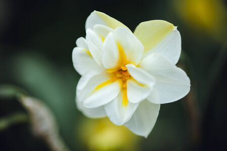 beautiful wallpaper with white daffodil, blurred background. Stock Photo