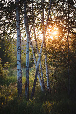 Birch trees at the edge of the forest are illuminated from behind by the golden setting sun. Фото со стока