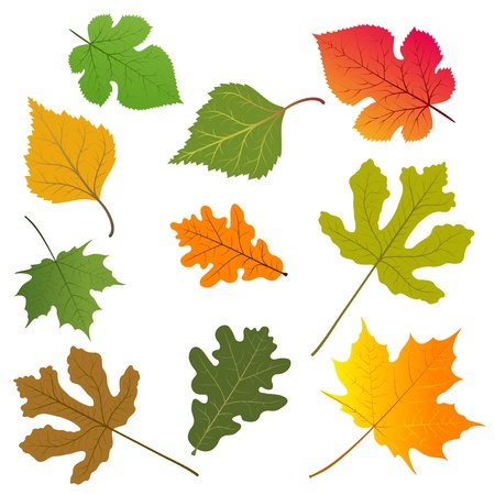 oak leaves: The leaves of trees.