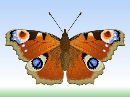 The butterfly peacock. Vector illustration of an insect.   Illustration
