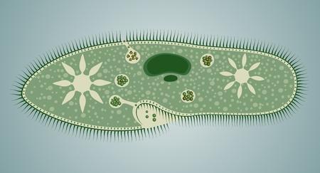 Paramecium caudatum is a species of unicellular organisms belonging to the genus Paramecium of the phylum Ciliophora  Vector illustration  Illustration