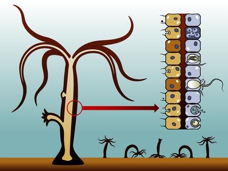 interstitial: Hydra vulgaris. Coelenterates invertebrates. The structure of the hydra. The method of movement hydra. Vector illustration. Illustration