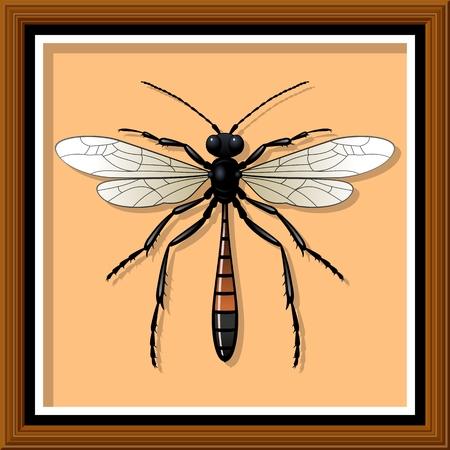 entomological: Sand wasp. Entomological exhibit - Wasp in the frame. Vector illustration.