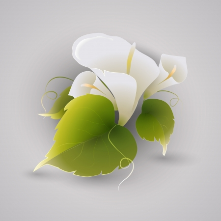 Vector illustration of calla flowers. Vector