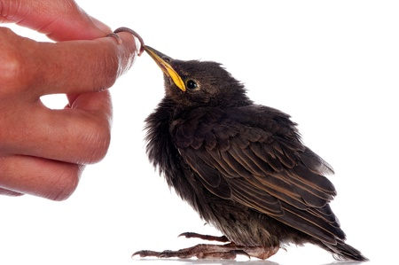 A baby starling is fed with an earthworm by a human hand