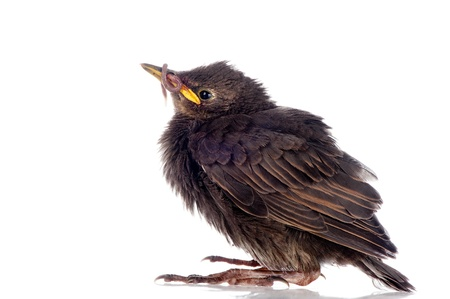 A baby starling stands with an earthworm in its beak  Stock Photo