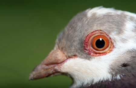 A macro shot of a pigeon shows the details in the eye.