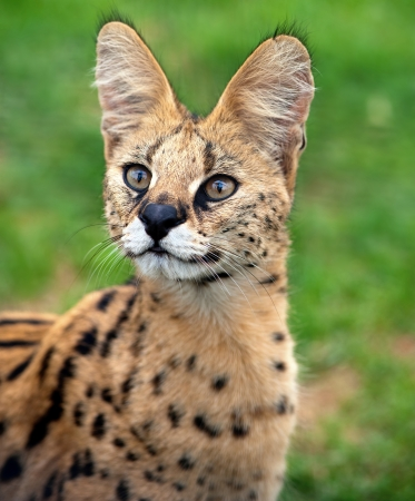 A serval cat focuses attentively with its eyes and ears  Stock Photo