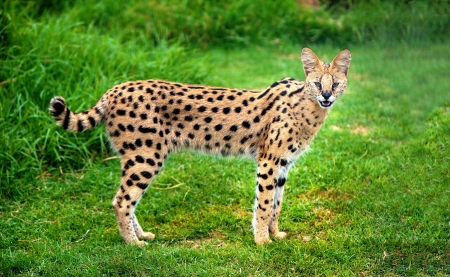 An alert serval cat fixes its eyes and ears on a central point