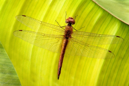 anisoptera: A dragonfly takes a break from flying, on a green leaf.