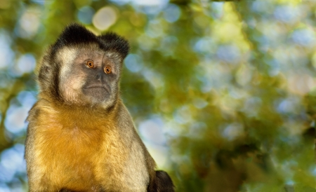 A lone capuchin monkey stares into empty space.