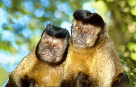 A Capuchin monkey pair sit in their natural surroundings