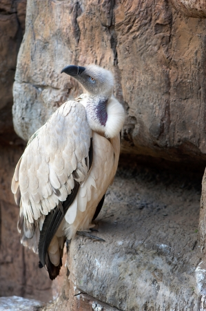 A Cape vulture sits on a cliff in rocky terrain  Stock Photo