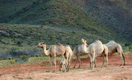 Five camels relax towards the end of the day  Stock Photo