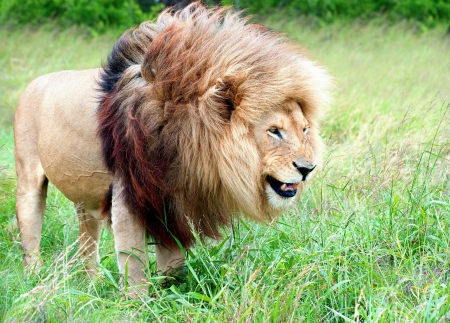 The mane of a lion is roufled by the wind