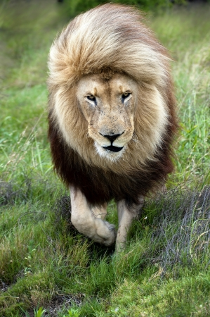 A Lion walks straight into the direction of the camera