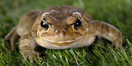 A macro view of the frontal aspect of a toad is seen.
