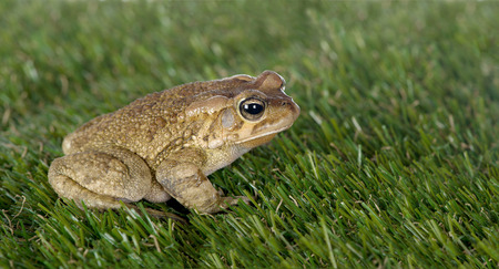 anura: A side view of a toad sitting on a patch of grass is seen. Stock Photo