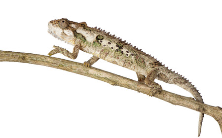 A chameleon moves cautiously on a branch.