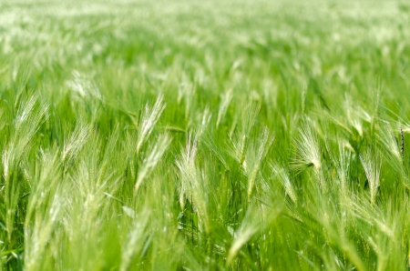 Abstract green spring wheat background Stock Photo - 19688234