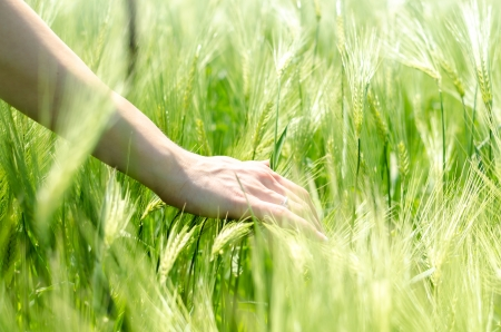 Delicate caring woman hand in wheat field photo