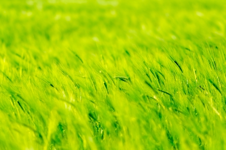 Green abstract wheat background with green and yellow photo