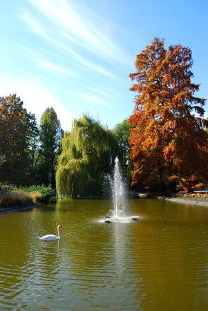 Majestic swan on the lake in a autumn colored park photo