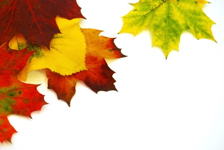 leaf close up: Colored fall leaves on isolated white background Stock Photo