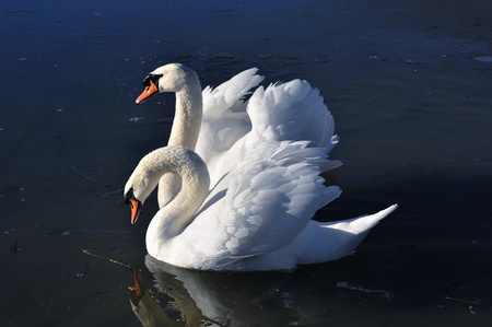 Two lovely swans on the frozen river photo