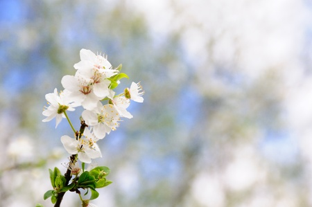 Plum tree in sunny morning, twig with blossom photo