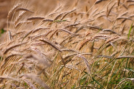 Background of the ripe barley in cultivate field photo