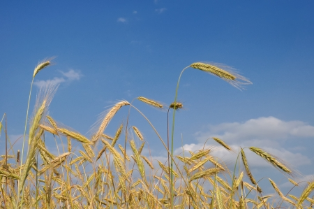 Ripe wheat in field and blue sky photo
