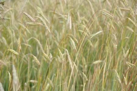 Background of the ripe grain in field photo