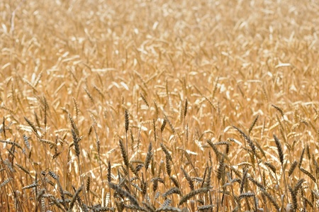 nutritive: Background of the cultivate cereal in field