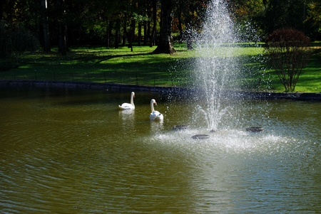 Two white swans on the lake in the city park photo