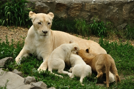 female lion: White african lioness nursing her cubs