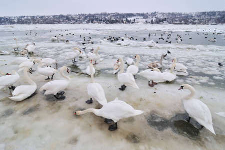 Group of the swans on the frozen river photo