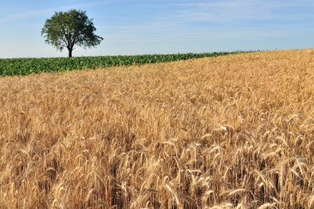 ingradient: Ripe cereal field with tree and sky behind Stock Photo