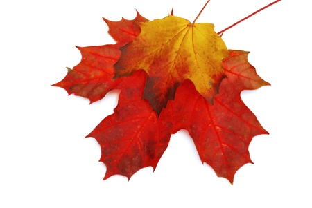arrangment: Fall maple leaves isolated on white background. Stock Photo