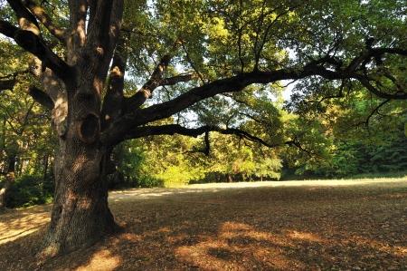 roble arbol: Gran roble en el Parque de oto�o. Foto de archivo