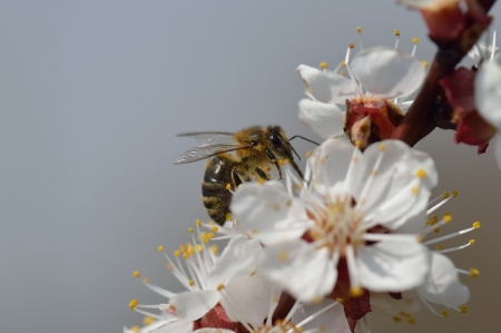 Honey bee on cherry blossom with copy space. Close up photo