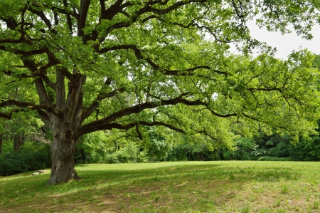 Big Oak Tree in Park with Early Spring Green Leaves photo